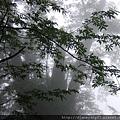 這山區的「馬告」(山椒樹)極多,且偏愛圍繞著神木生長…