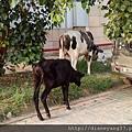 不管哪個城市、牛隻大搖大擺四處走動吃喝歇腳在印度是常態。有人說,牠們的存在,就跟在台灣常見的流浪貓狗一樣...