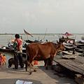 漫步恆河邊,展開一路上都看見牛的路途~