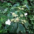 大神木旁不知名的小白花… 拍的時候沒注意,回家自細看照片才看出上頭停了一隻小蟲子。