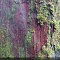本想近拍紅檜神木身上漂亮的紅色… 沒想到順便捕捉到沒公德心的遊客在樹上留下的刻字!唉…