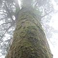 山裡太潮濕了,所以很多神木身上都爬滿綠綠的苔蘚。