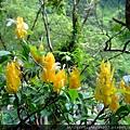 獼猴步道旁,不知名的花,我好喜歡它們獨特的花型,黃色花瓣上還冒出兩小片彷彿小天使翅膀的白花瓣,平地沒有這種花…