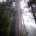 神木園裡,最有看頭的一棵長老級神木-孔子。