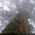 馬告的神木們,個頭大約有30到40多公尺之高… 應該相當於10幾層樓上下,所以仰頭看神木的頻率,很高。