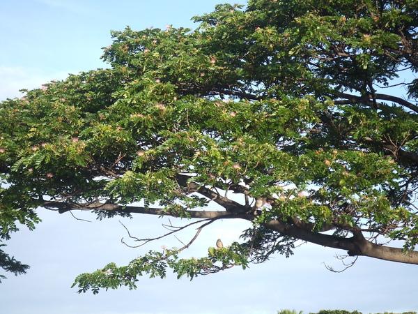 樹上有很像綠繡眼的鳥