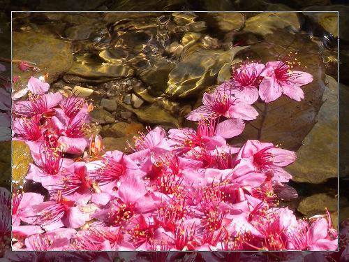 武陵農場-櫻花季之旅