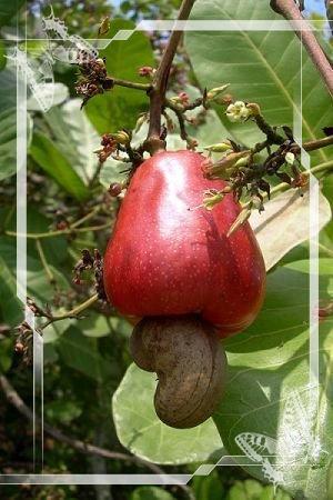 不可不知,不可不吃   腰果——長在果實外面的種子
