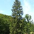 歐洲雲杉.jpg
