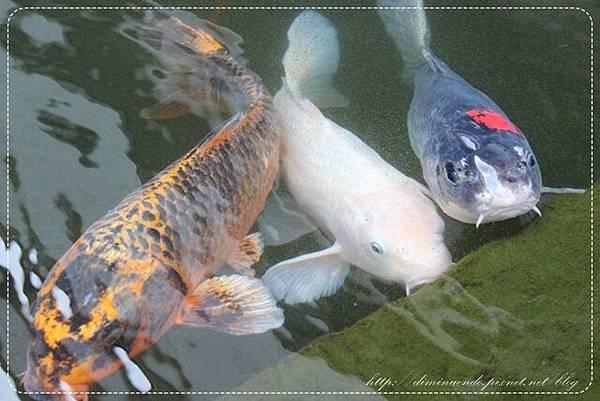 好多好多的鯉魚