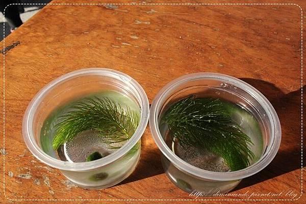 小小的藻球與水草