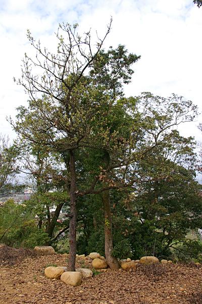 101槲樹001.JPG