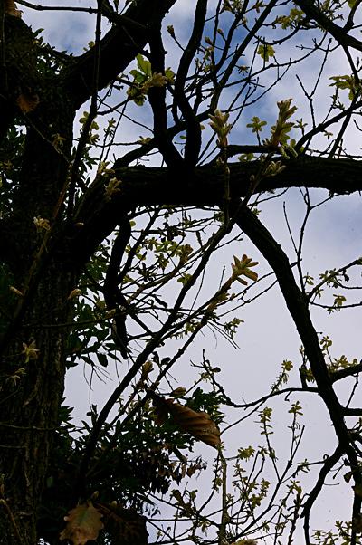 101槲樹005.JPG