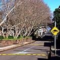 Rozelle hospital009醫院周圍的楓樹.JPG