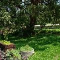 石圍牆老樹012.JPG