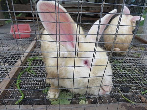 頭城農場, 農場環境, 動物, 小白兔