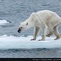 挨餓的北極熊