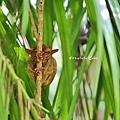害羞的眼鏡猴_5001.jpg