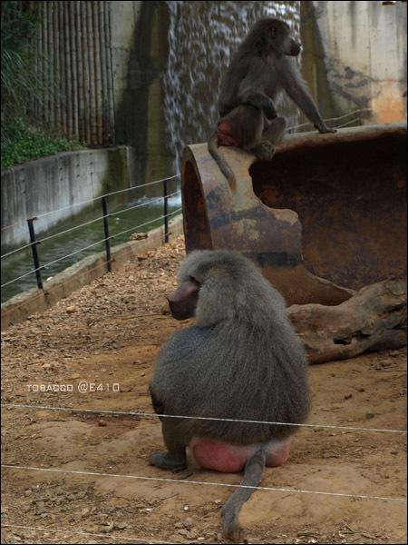 玉米鬚猴-3.jpg