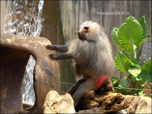 玉米鬚猴-5.jpg