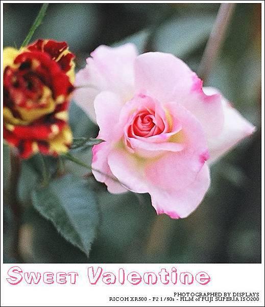 玫瑰-白邊-c.jpg