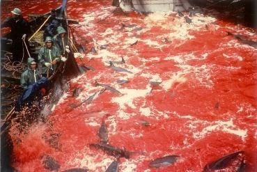 漁民以金屬條刺穿海豚的脊柱,使其失血、窒息、死亡」。該