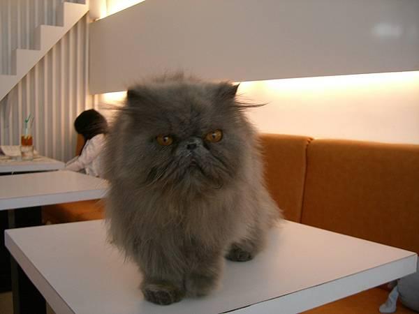 哇.. 這隻店貓長的凶猛阿