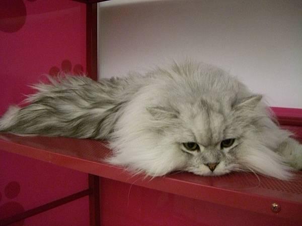 另一隻店貓