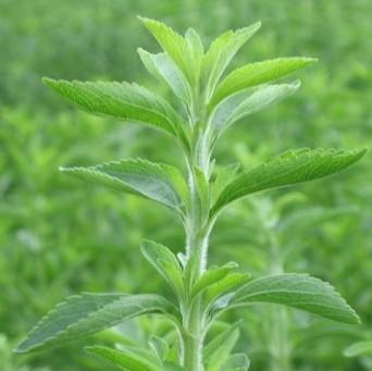 stevia002.jpg