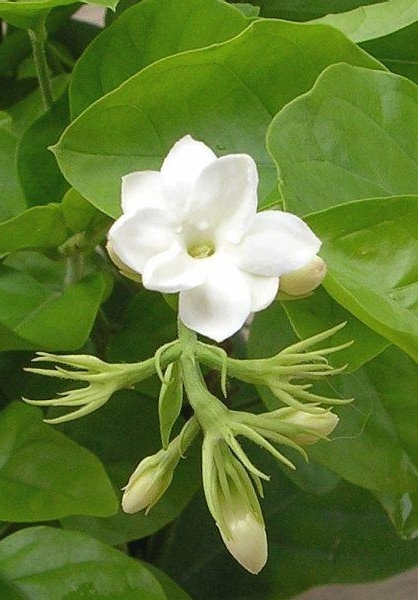 Jasmine003.jpg
