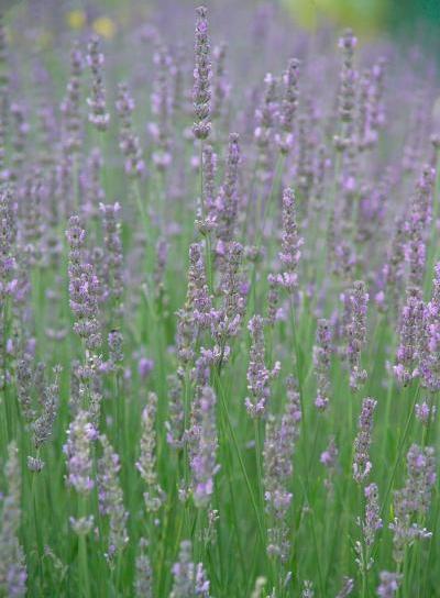 lavender001.jpg