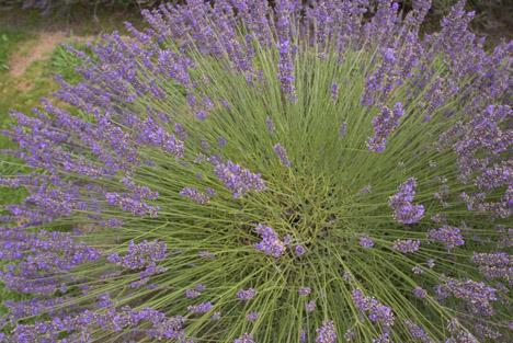 lavender007.jpg