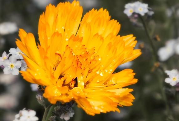 marigold001.jpg