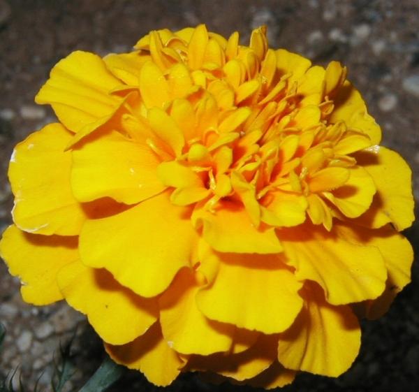 marigold002.jpg