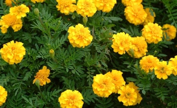 marigold005.jpg