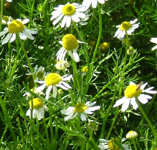chamomile001.jpg