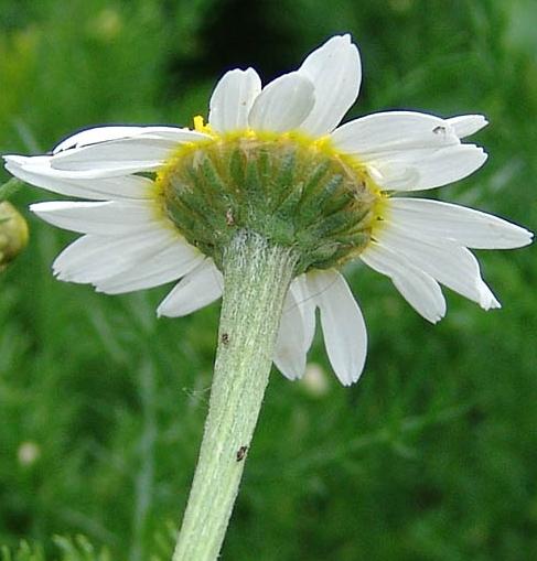 chamomile005.jpg