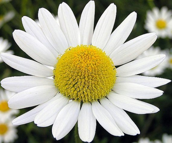 chamomile007.jpg