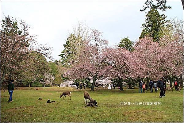 日本賞櫻5日遊14.jpg
