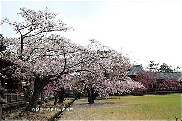 日本賞櫻5日遊10.jpg