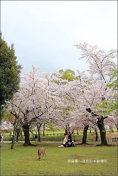 日本賞櫻5日遊19.jpg