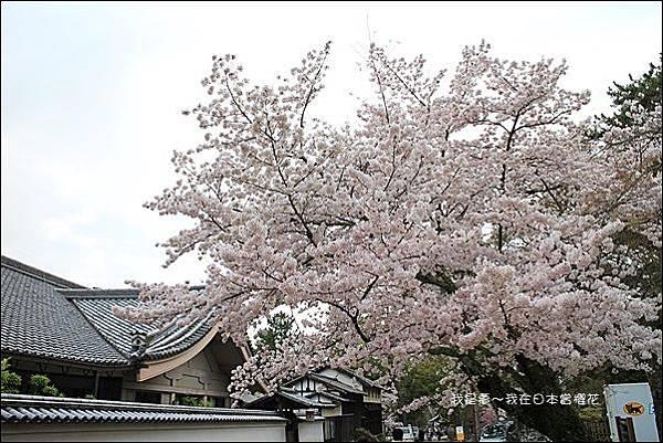 日本賞櫻5日遊29.jpg