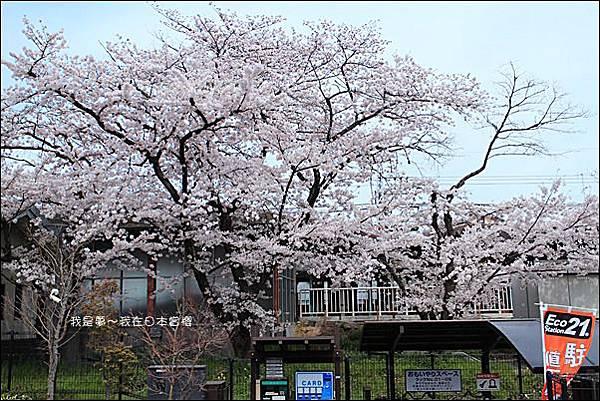 日本賞櫻5日遊22.jpg