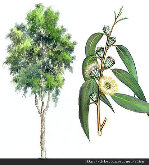 aroma_ oil_EUCALYPTUS-LEMON