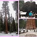 sequoia-12
