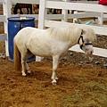 白色迷你馬