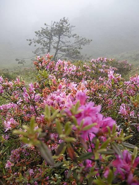 DSCN0001_霧中的北峰紅毛杜鵑.JPG