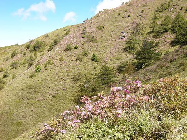 DSCN0294_北峰上的紅毛杜鵑.JPG