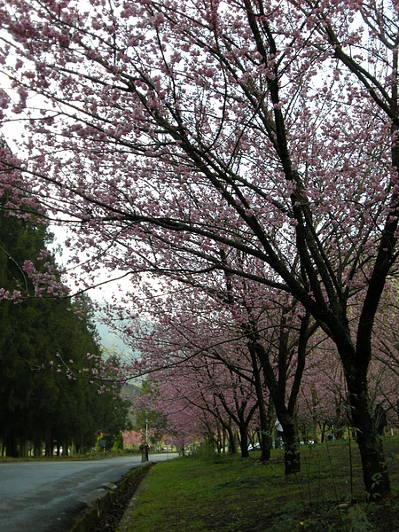 DSCN9774好想躺在櫻花樹下喔.JPG