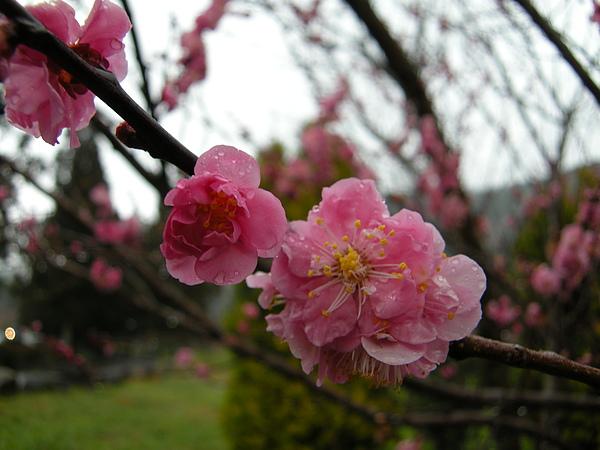 DSCN9682盛開的梅花吧..說真的己不知是什麼花了..只要覺得美的都想拍下來.JPG